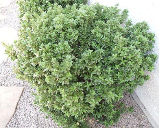 Shrubs Garden Hedges Shrubs For Sale Shrubs