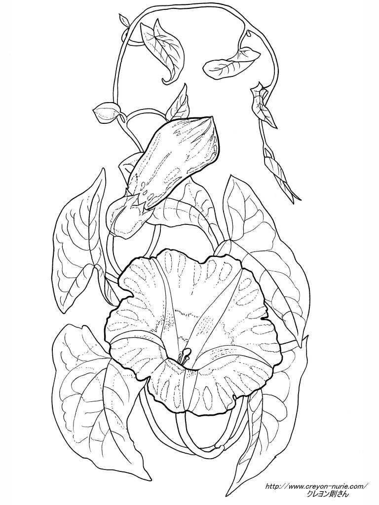 ピンクのアサガオの植物画の塗り絵の下絵画像 шаблоны アサガオ