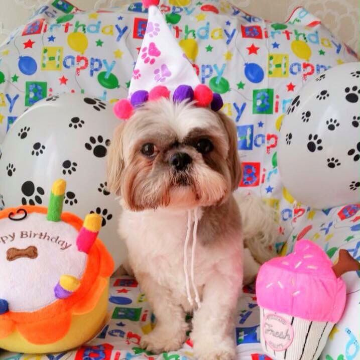 Happy Birthday Dog, Shih Tzu