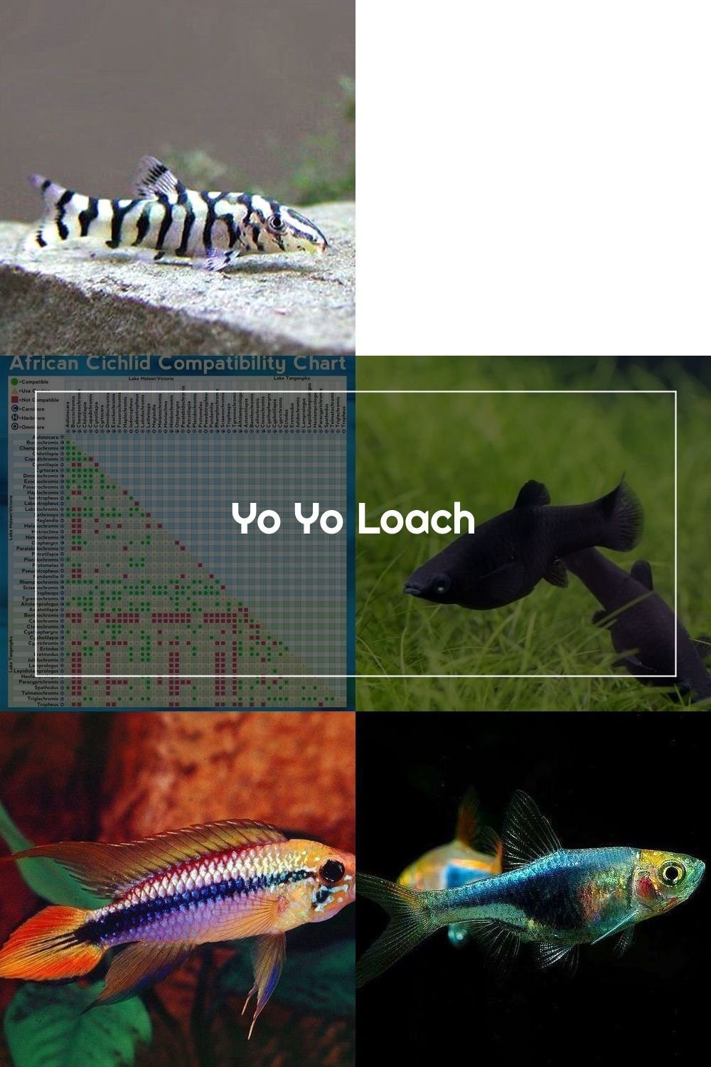 The Yoyo Loach Is A Freshwater Fish It Originates In The Slow Running And Still Waters Of India And Pakistan Whence The Name Pakistani Loach It Is Commonly F