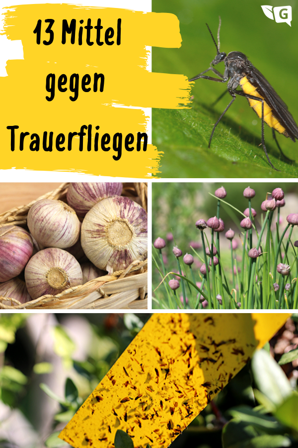 Was Tun Gegen Trauerfliegen 13 Mittel Die Wirklich Helfen Gartendialog De Trauermucken Pflanzen Fliegen