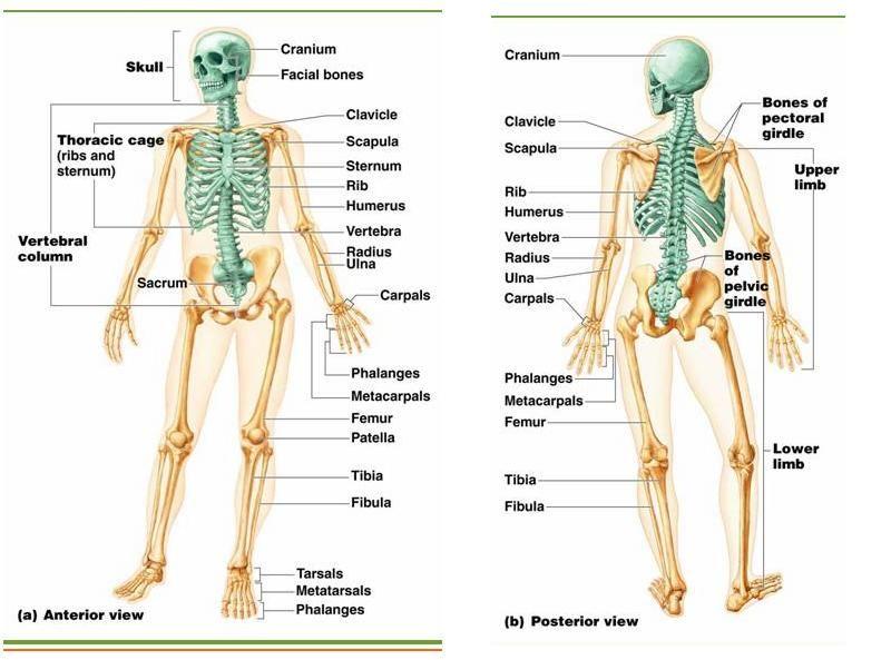 Axial Skeleton Anatomy Biology Pinterest Axial Skeleton