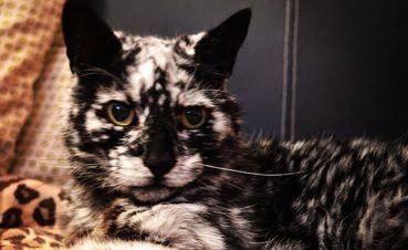 Black Cat With White Spots Vitiligo Weird Animals Spotted Cat Animals