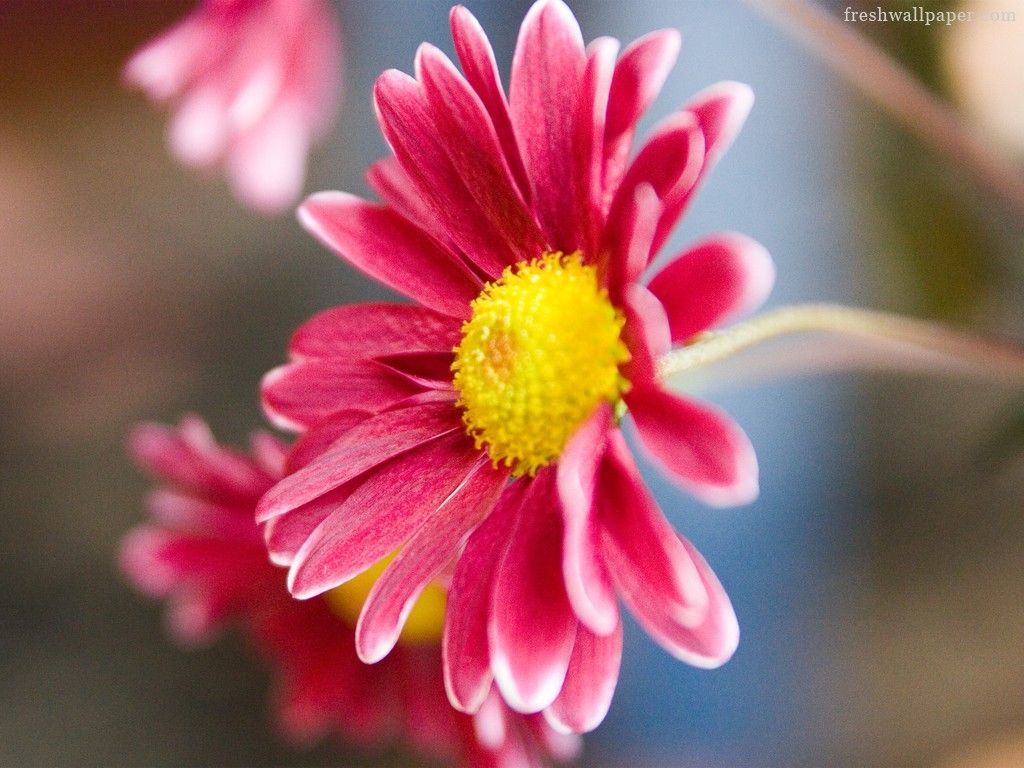 Pink daisy flower wallpapers hd wallpaper for desktop background give a small flower or welcome back gift and handwritten invitation to join pta on each teachers desk on the first day of school dhlflorist Image collections