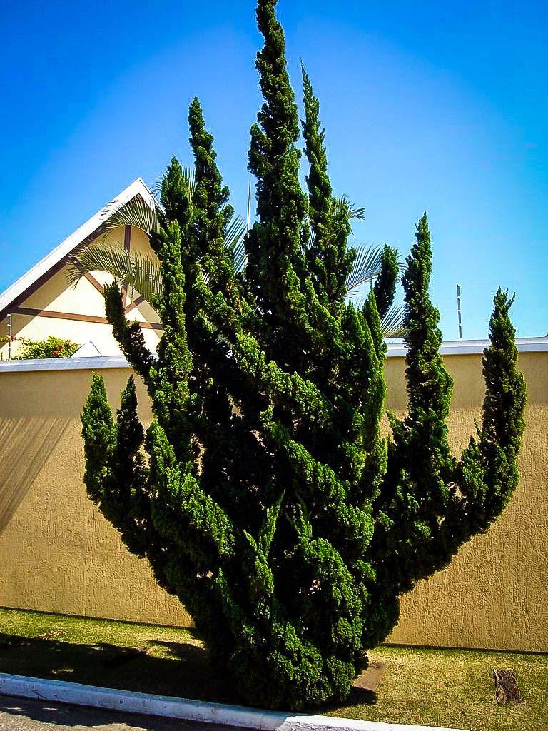 Hollywood Juniper Tree Aspirations Landscaping Plants