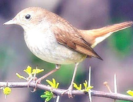 Download Burung Sikatan Londo Download Kicau Sikatan Londo