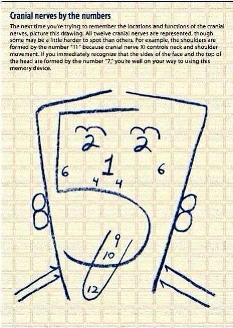 Cranial nerves by number