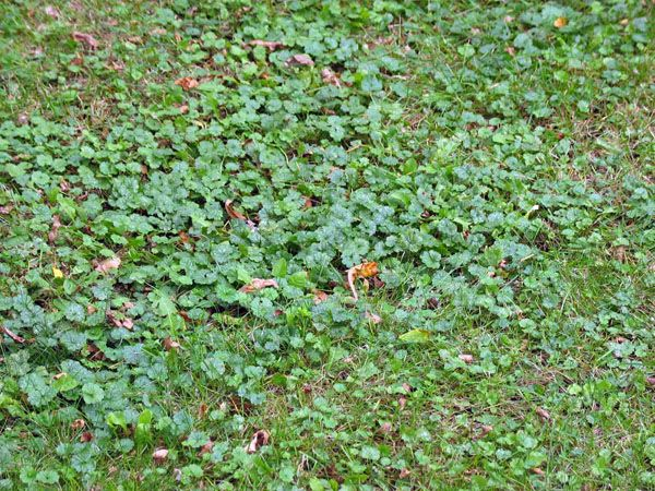 How To Get Rid Of Creeping Charlie Lush Lawn Magical Garden Ground Cover Plants