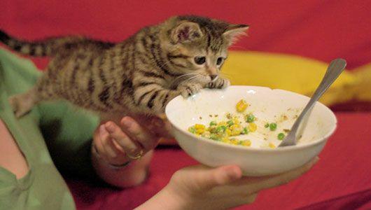 kitten trying to eat bowl of vegetables