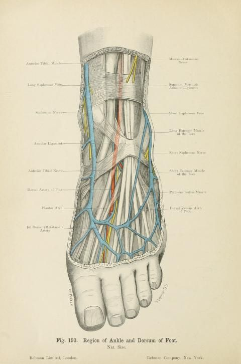 Region Of Ankle And Dorsum Of Foot From Atlas Of Applied
