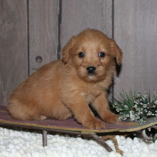 Labradoodle Puppies for Sale Breed Group Mixed Height 21