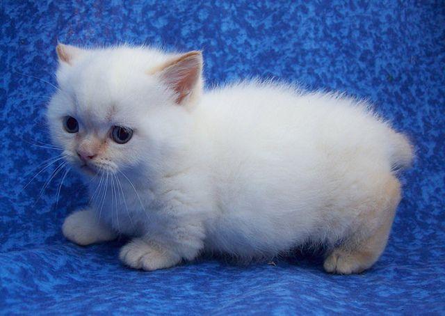 Creampoint Napoleon Munchkin Kitten Munchkin Kitten Munchkin