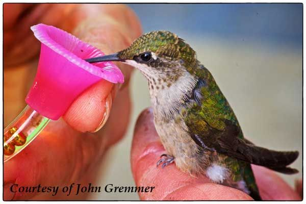 Hummingbird Rescue And Care About First Aid Humming Bird Feeders Hummingbird Making Hummingbird Nectar