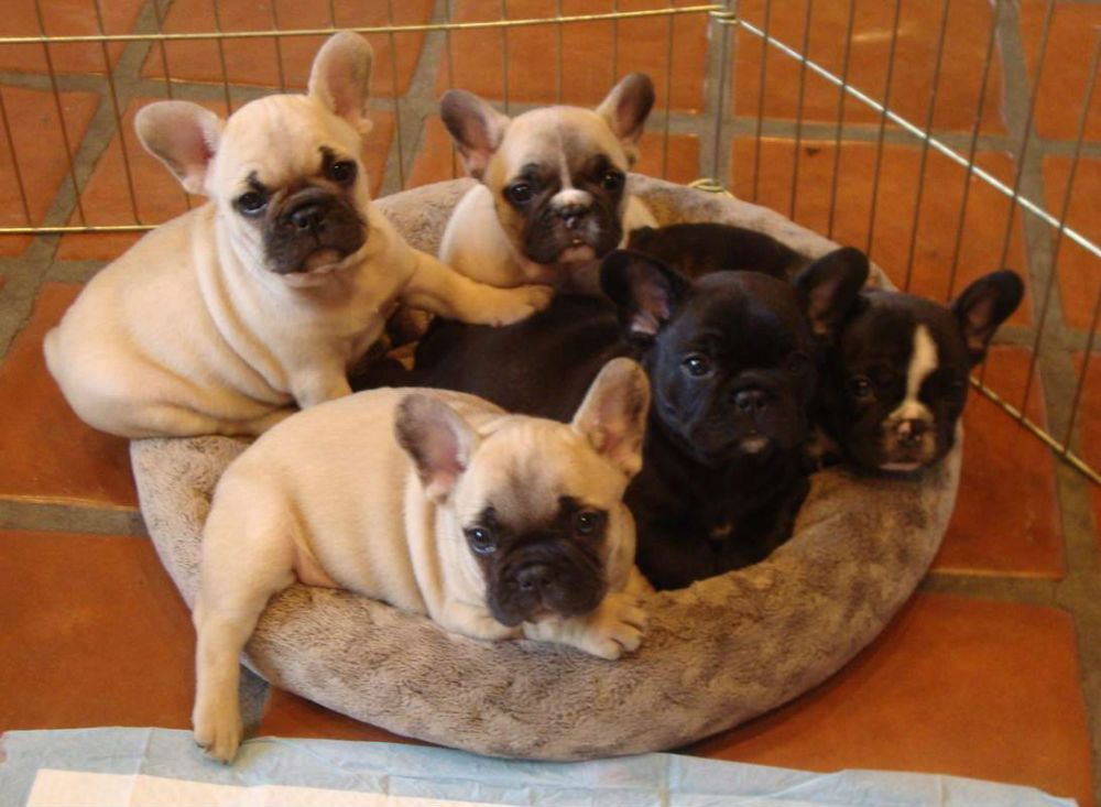 French Bulldog Puppies Http Www Austree Com Au Ads Pets Dogs