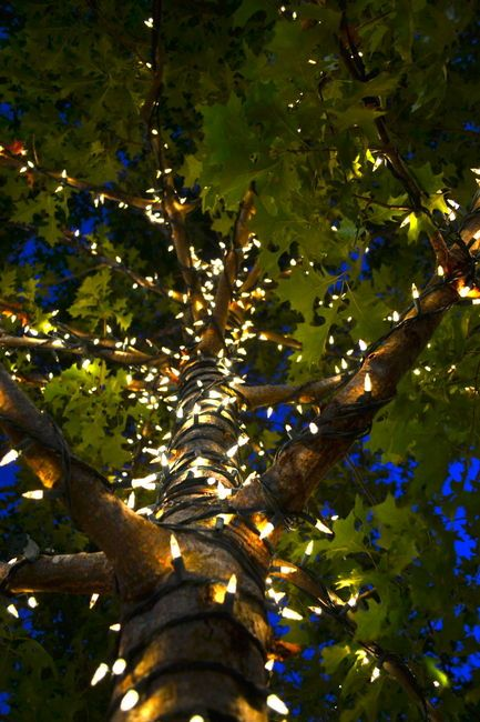How Easily These Led Lights Climb This Tree Let These M6 Led Lights Climb In Your Backyard Http Www Fairy Lights In Trees Fairy Lights Garden Outdoor Trees