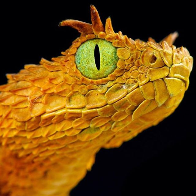 Paulrosolie This Just Climbed To The Top Of Species I Hope To See One Day This A Dragon Repost Mgkuypers The Usumbara Horne Reptile Eye Viper Pit Viper