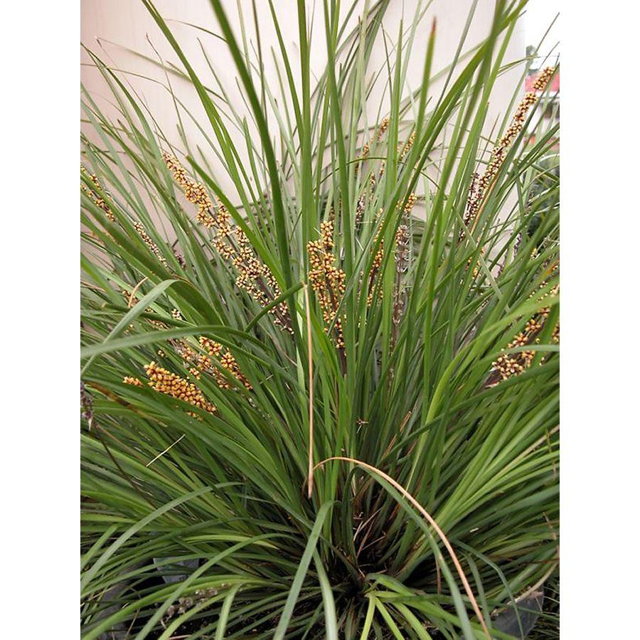 Monrovia 1 Gallon Breeze Dwarf Mat Rush Fall Plants Monrovia Plants Winter Plants