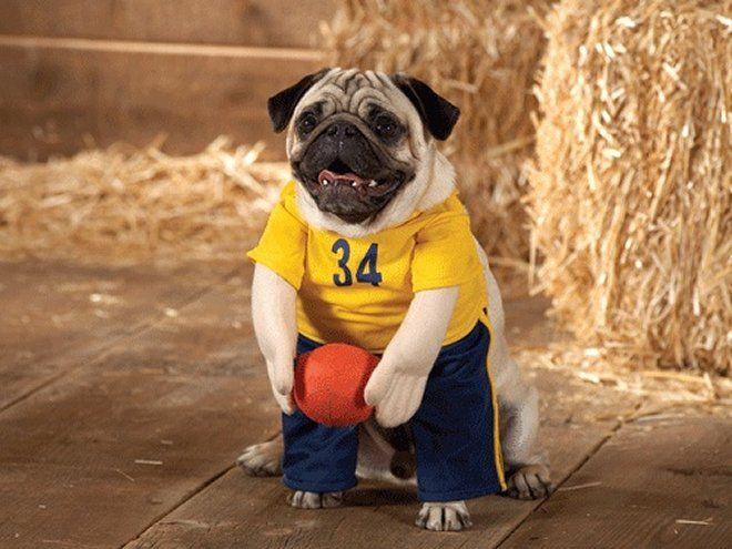 dd0a98afacfbb Rugby Player Pug Dog