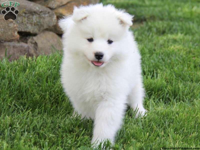 Samoyed Dog Rescue Michigan