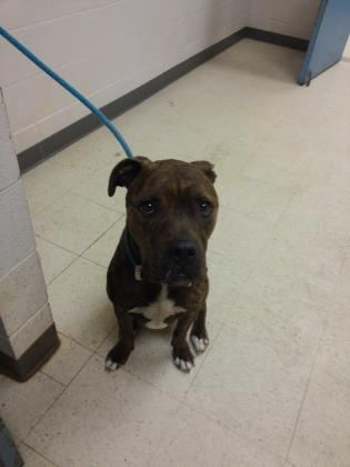 Bullboxer Pit dog for Adoption in Gulfport, MS. ADN730669