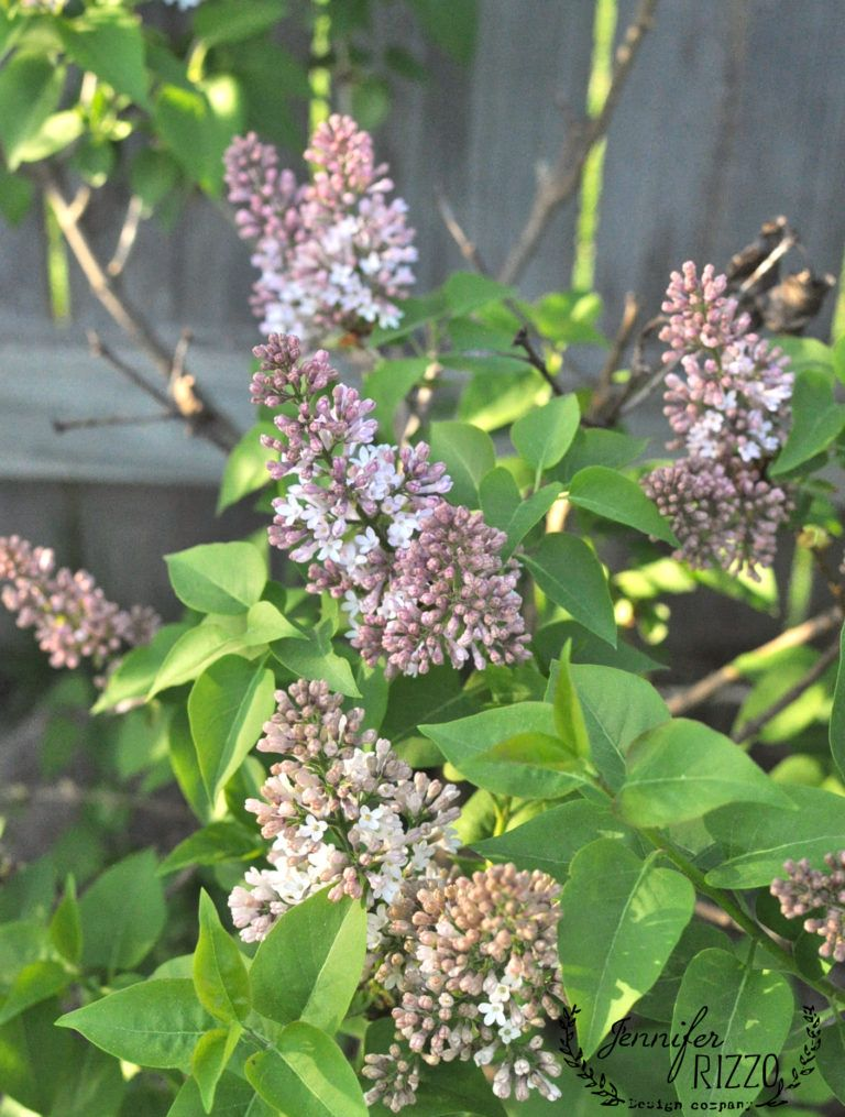 Troubleshooting Why Didn T My Lilacs Bloom Bloom Lilac Garden Art