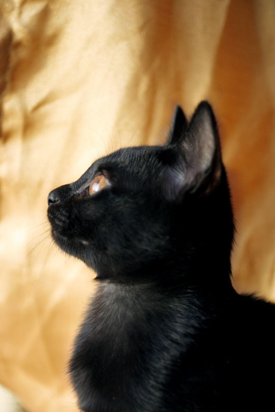 Looking Toward Heaven Which Is Exactly Where Bombays Are Made Baby Cats Cat Breeds Cats