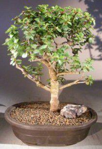 Baby Jade Bonsai Tree Portulacaria Afra Jade Bonsai Bonsai Tree Indoor Bonsai