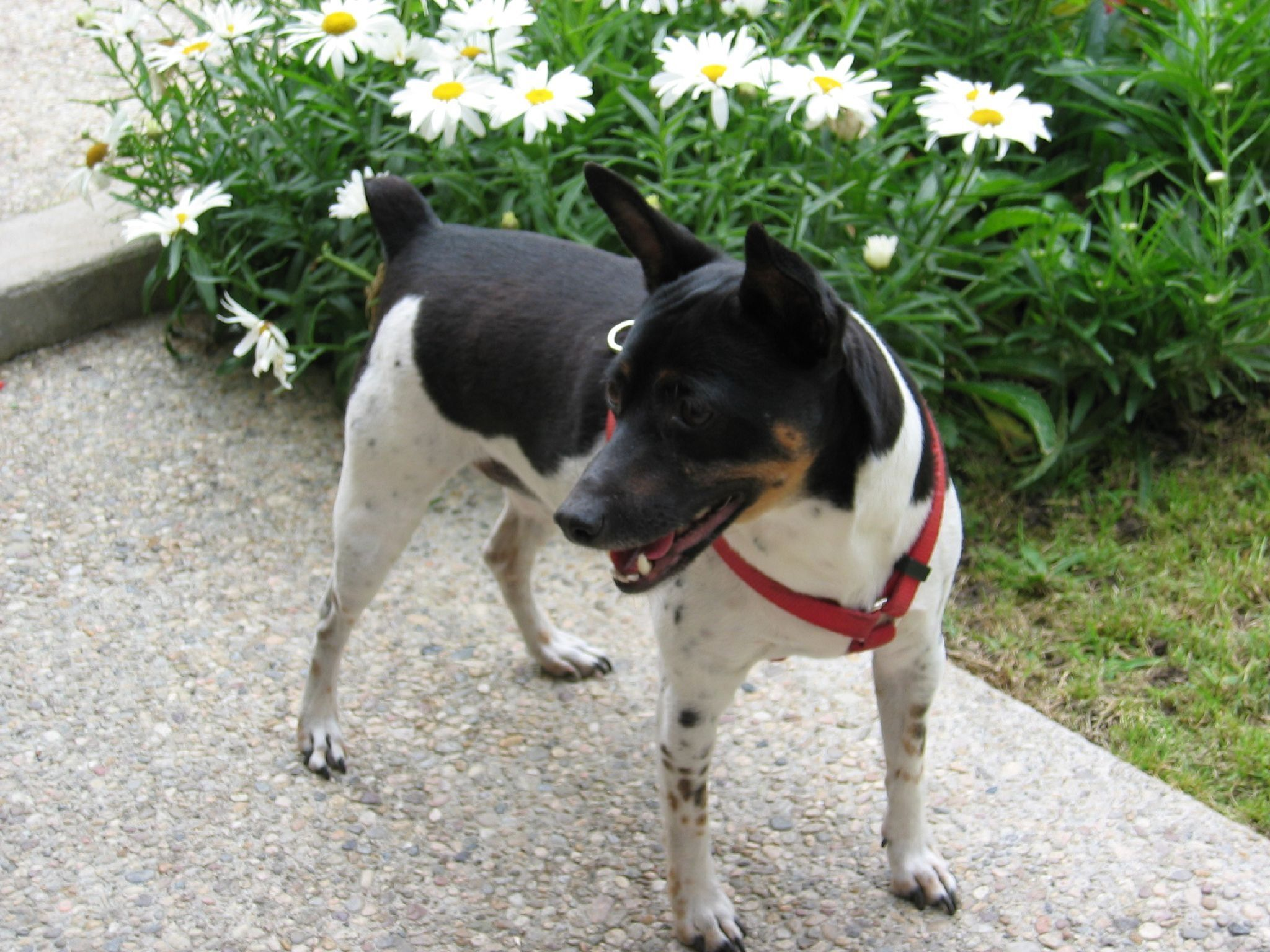 Pin On Rat Terrier Dogs