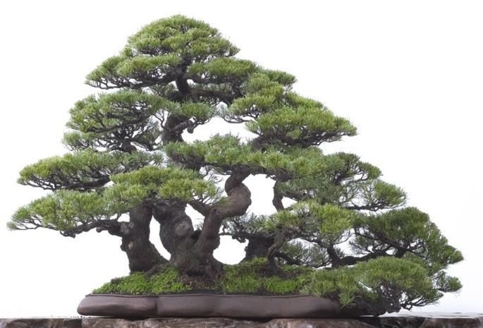 australian pine tree | (She Oak, Australian Pine) - Bonsai Solutions :: for Australian ...