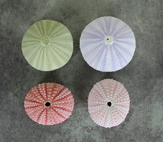 Atlantis Shell Co. - Mixed Sea Urchin Set 1-2"
