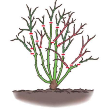 Comment tailler un rosier jardin les roses pinterest rosier jardinage et jardins - Comment tailler des rosiers ...