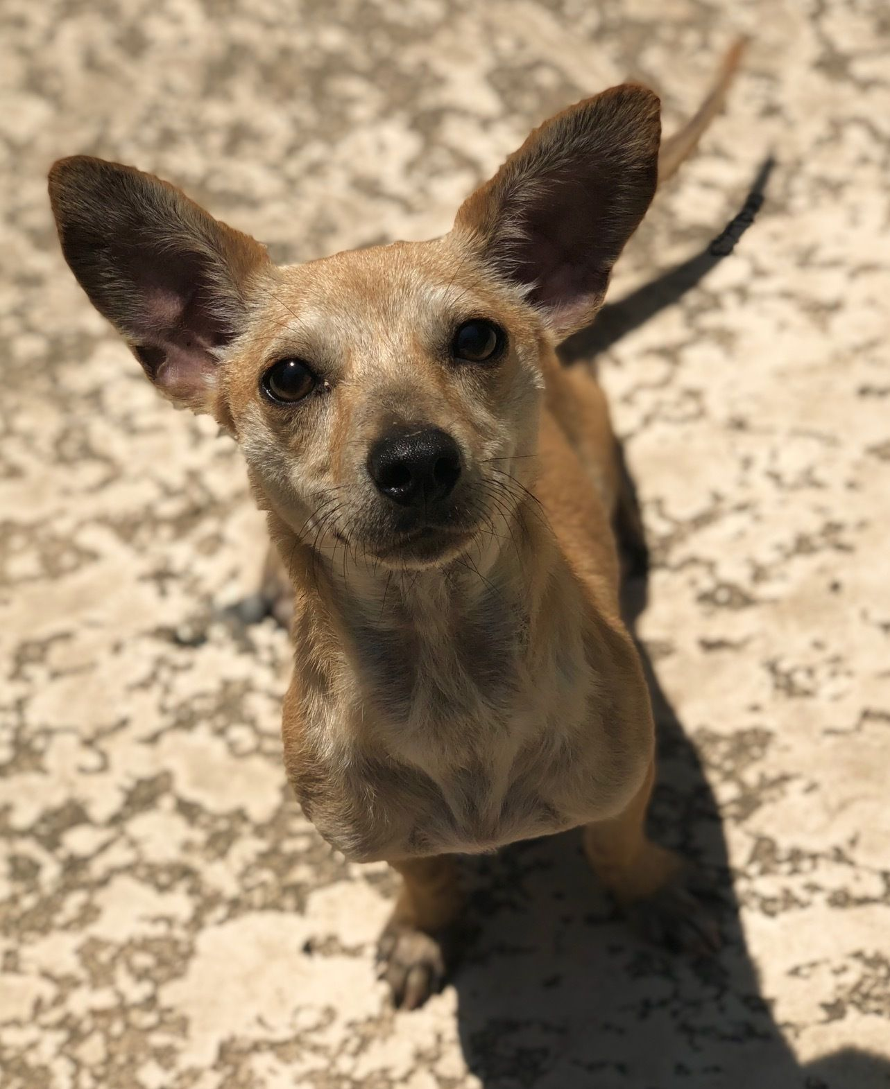 Adopt Amazing Franklin On Dachshund Adoption Dogs Dachshund