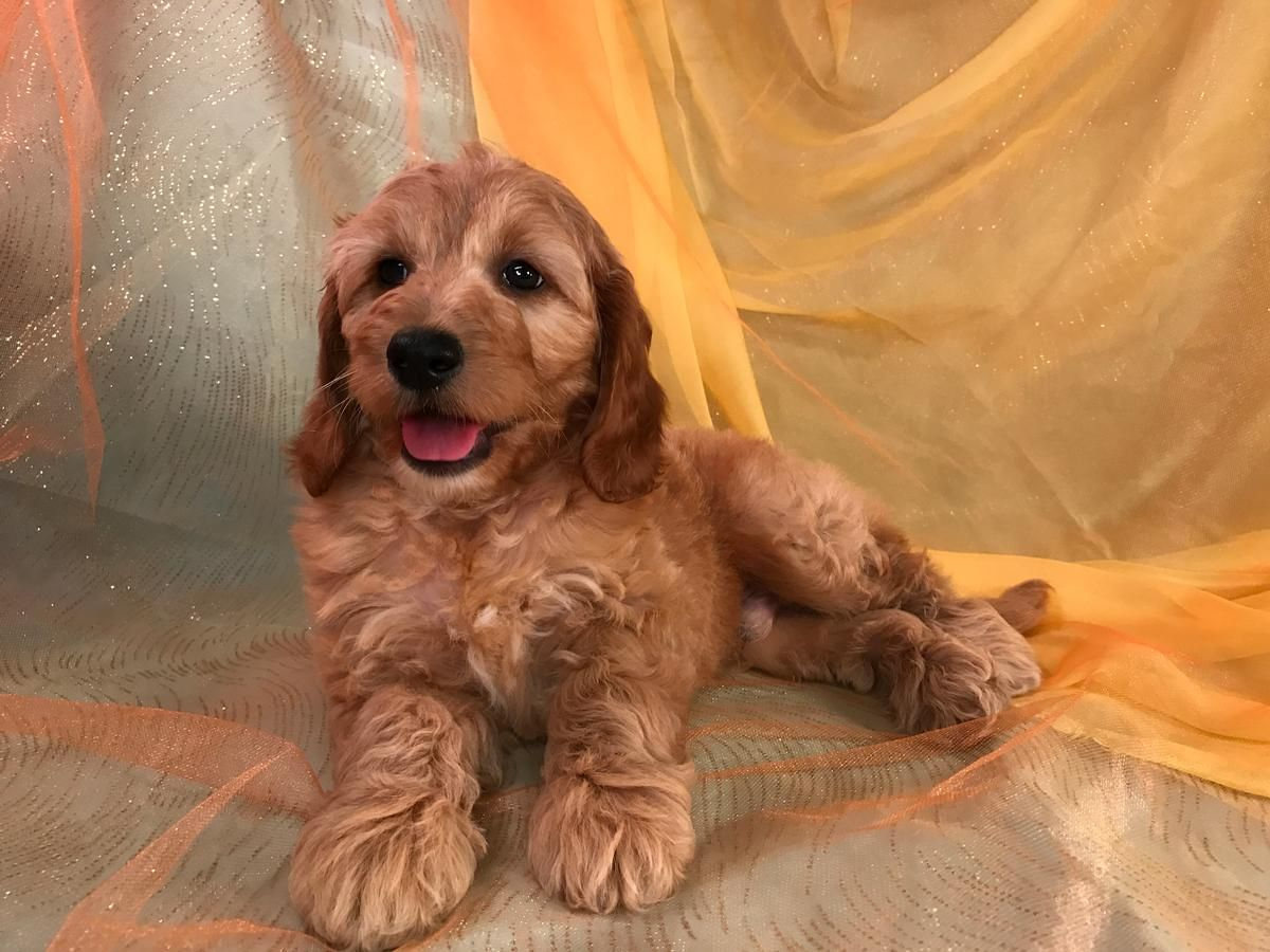 Miniature Goldendoodle Puppies For Sale Breeder In Iowa In 2020 Goldendoodle Puppy For Sale Miniature Goldendoodle Puppies Goldendoodle Puppy