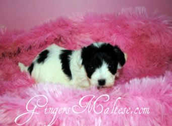 Maltese Puppies For Sale Premiere Maltese Breeders Raleigh Nc