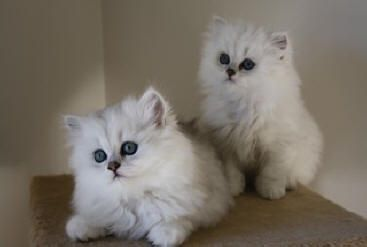 Image From Http Www Catsofaustralia Com Images Chinchilla 20kittens 20n Jpeg Cat Breeder Persian Kittens Persian Cat Breeders