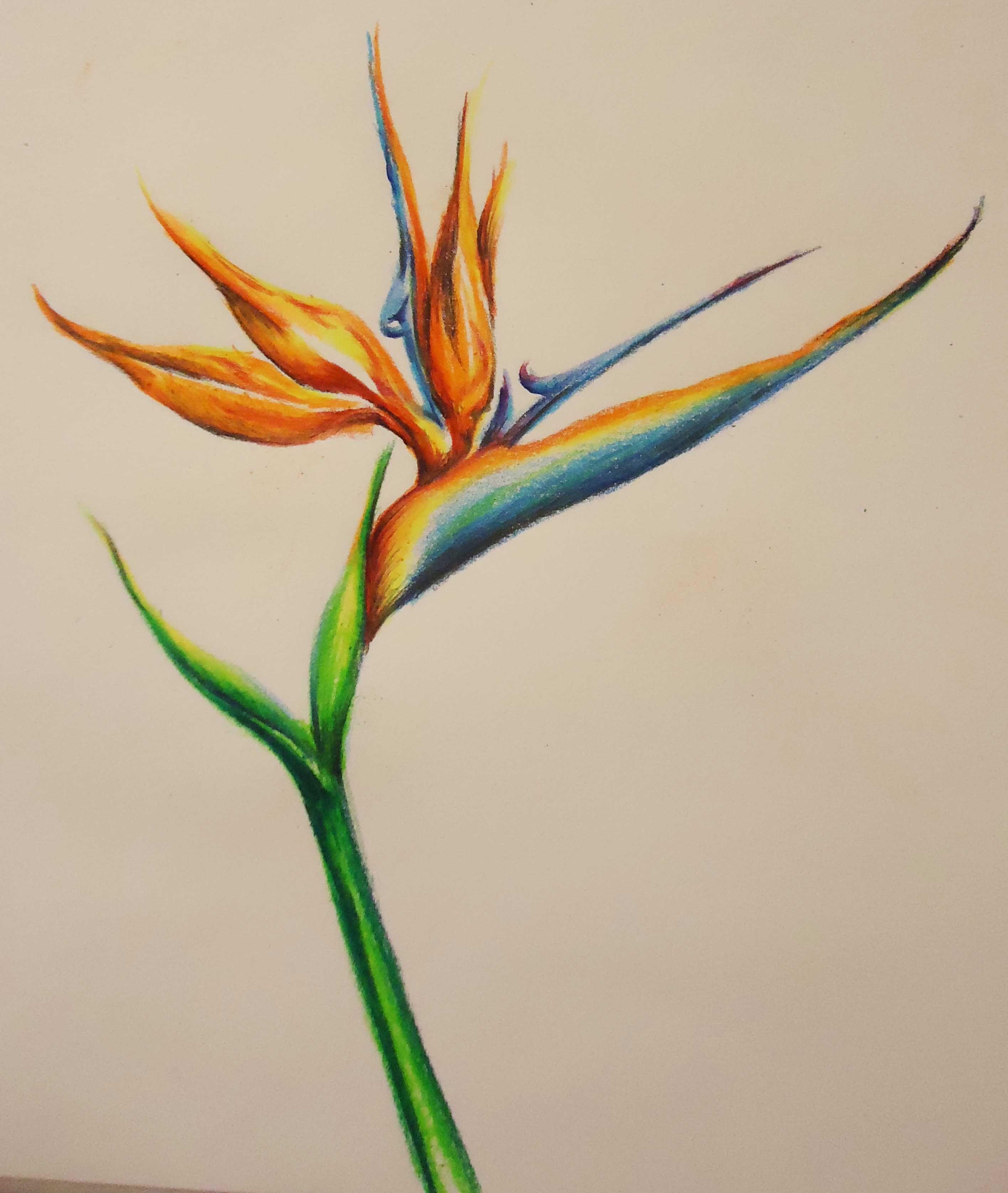 Bird Of Paradise Colored Pencil Prismacolor By Jennifer Cenzori Lenahan Color Pencil Sketch Color Pencil Art Birds Of Paradise
