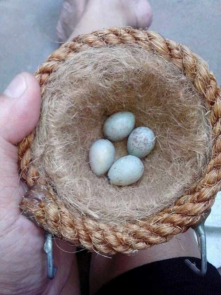 Canary Eggs Canary Birds Eggs Breakfast