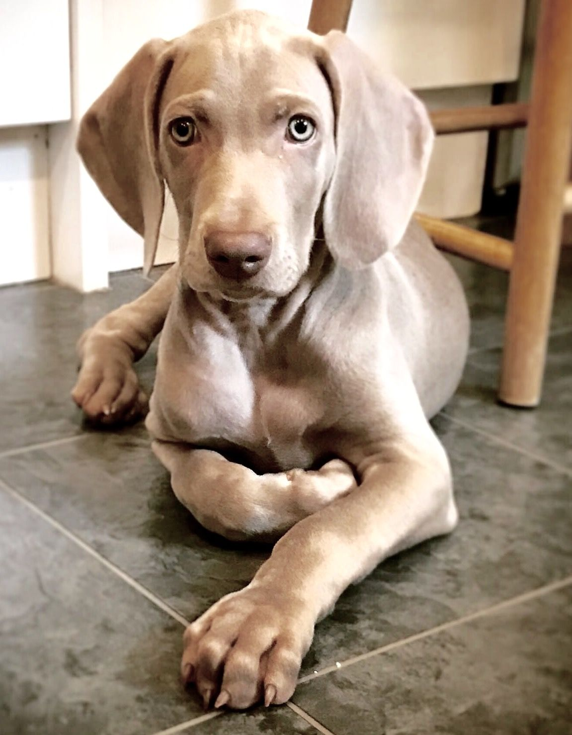 Weimaraner Puppy 9 Weeks Old