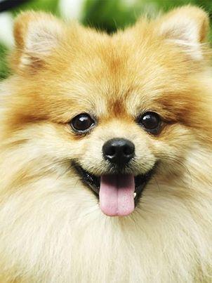 This Dog Looks Just Like My Pom Angel Bicho De Estimacao