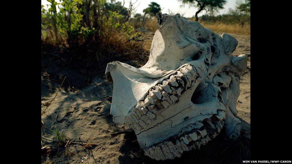 Desde o início de 2013 outros cinco rinocerontes foram mortos, segundo o governo da África do Sul. Mas, o problema não ocorre apenas no país africano. Acima, um crânio de rinoceronte. Foto: WWF