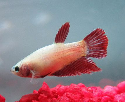 Behavior Aggressive Female Bettas Male Bettas Can Be More Aggressive Than Their Female Counterparts But That Doesn T Mean That Femal Betta Betta Fish Fish