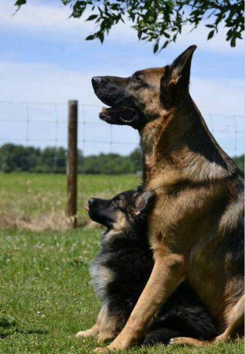 German Shepard Mom And Pup Dogs Cute Animals Beautiful Dogs