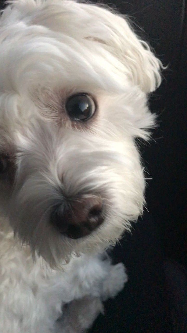 Image by Sharon Snyder on cute dogs Maltese dogs