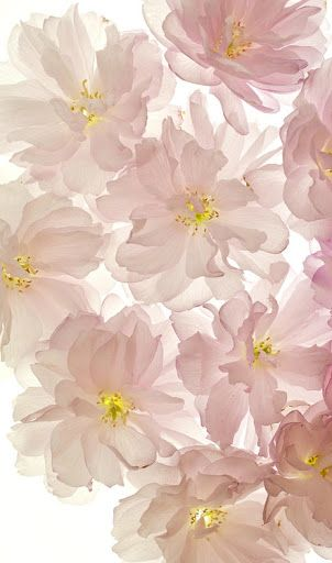 Pale Pink Flowers On A Light Box
