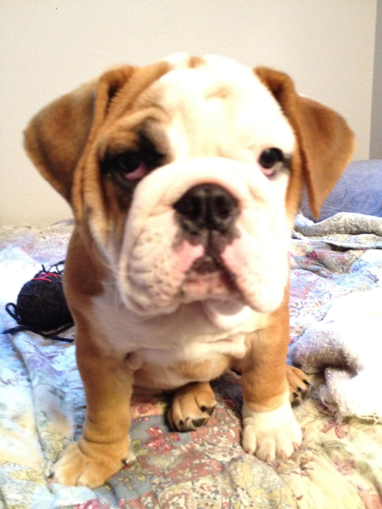 Bulldog Puppy Cute baby animals, Cute animals, Puppies