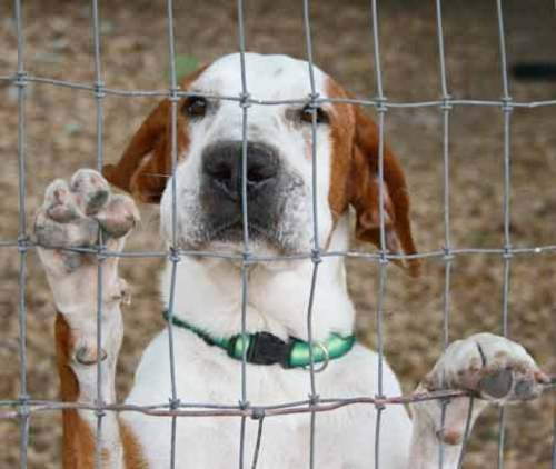 Bacchus Great Dane & English Pointer Mix • Adult • Male • Large Cinderella Pet Rescue, Inc. Penitas, TX