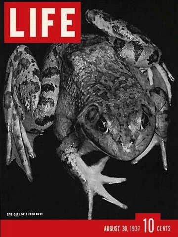 Life Magazine, August 30, 1937 - Frog Hunt.  (I wonder how much eating frogs went on during the Depression - can you imagine going out at night and not hearing the frogs 'cause they've all been hunted out).