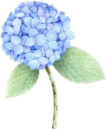 Hydrangea Watercolor Hydrangea Flower Painting Watercolor Flowers