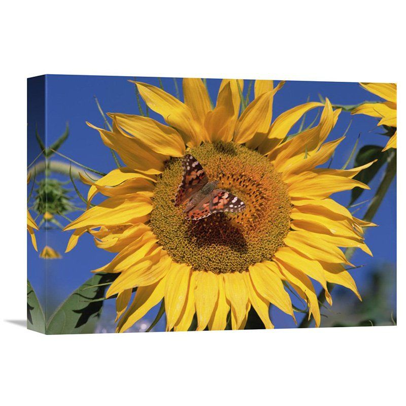 Global Gallery Painted Lady Butterfly on Sunflower New Mexico Wall ...