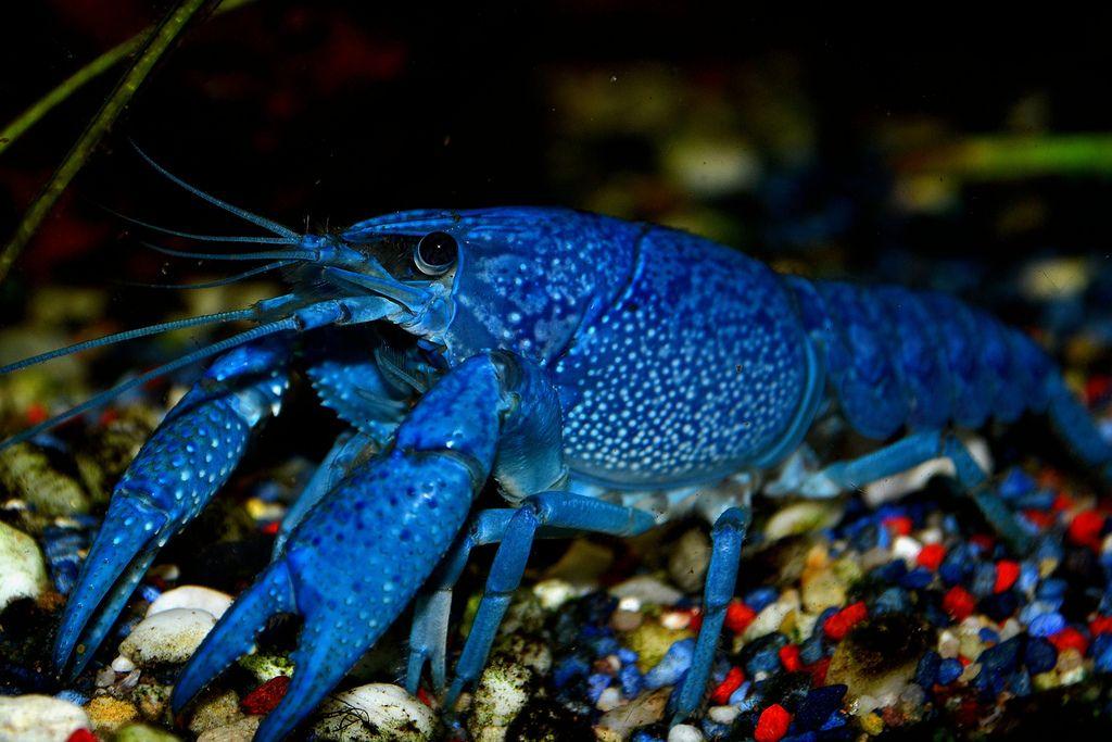 Amazing freshwater aquarium fish tropical fish for Blue fish aquarium